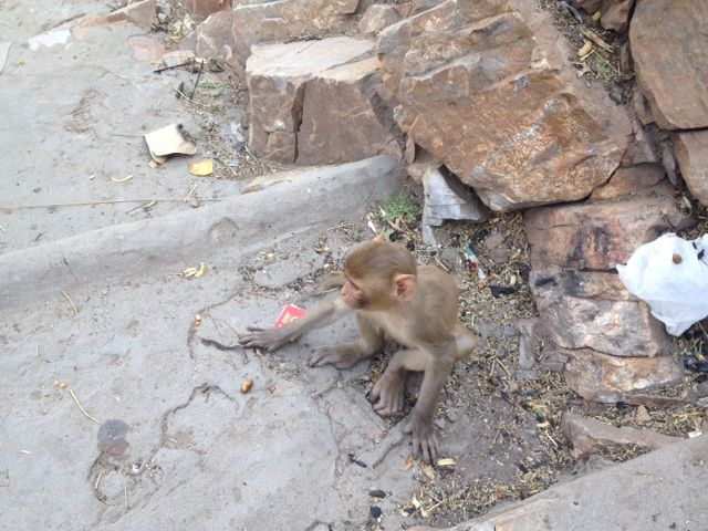 monkey temple jaipur 5